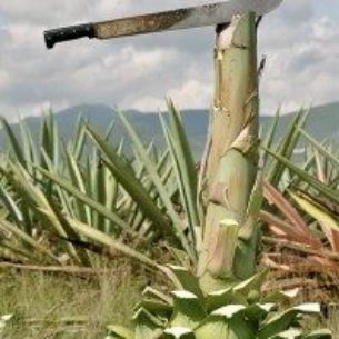agave_image-198x300