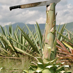 About Agave